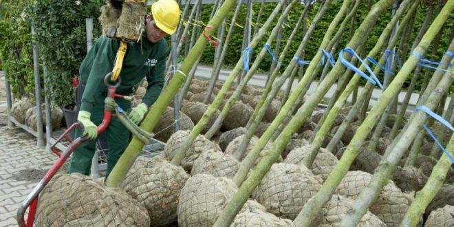 Zwischenbilanz der Baumschulwirtschaft zur Coronakrise